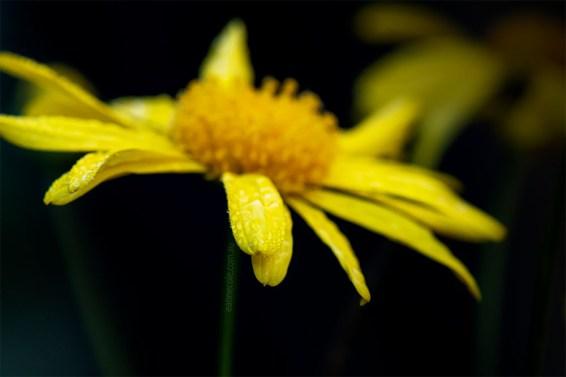 daisy-class-macro-alowyn-gardens