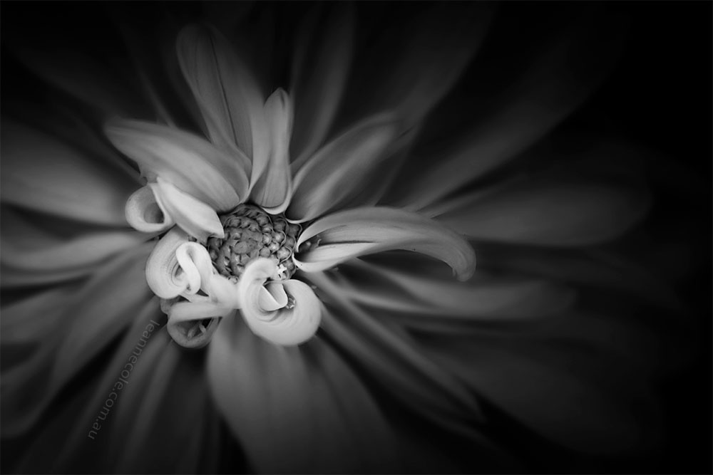 Monochrome Wednesday - A dahlia