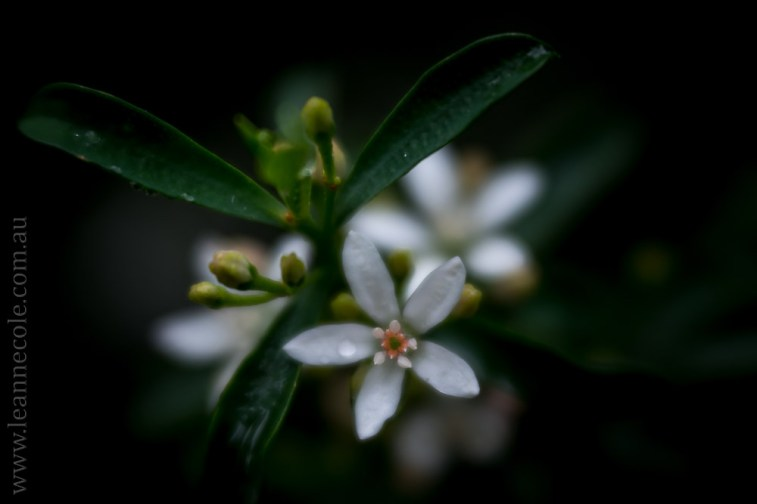 Floral Friday - macro from Healesville