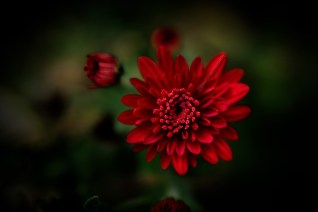 chrysanthemum-garden-red-macro