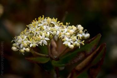 Cranbourne Botanical Gardens - Australian Native Flowers