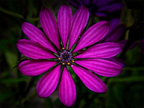 Floral Friday - Struman Optics in my garden