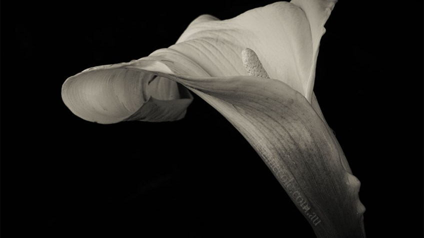 Monochrome Madness - A still lily