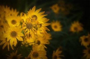 sunflowers-alowyn-gardens-macro-class