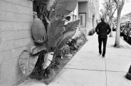 man walking past large palm leaves
