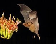 bat-pollen-2