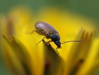 flower-beetle-covered-in-pollen1