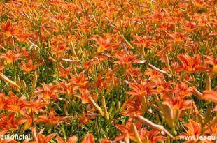 foto de uma plantação de lírios do campo