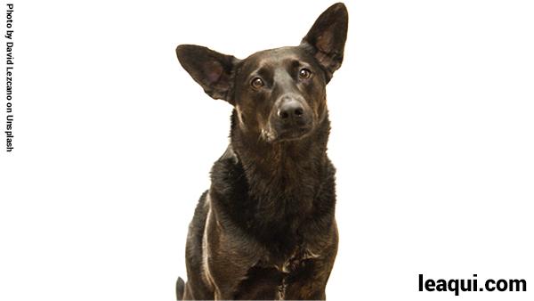 cão olhando para frente em fundo branco Chico Xavier cão Lorde