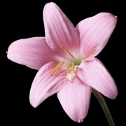 pink-diamond-lily-real