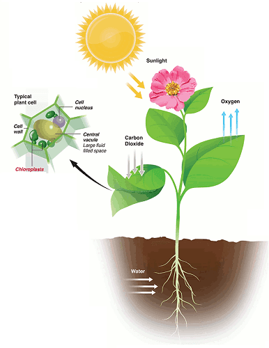 Photosynthesis nutrition in plants