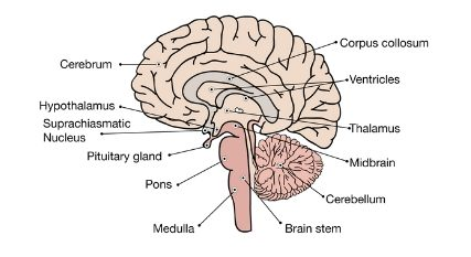 human brain diagram class 10