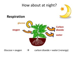 respiration in plants at night