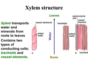 xylem mechanism