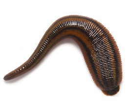 leech Annelida