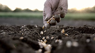 sowing of seeds