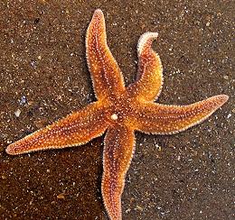starfish-Echinodermata