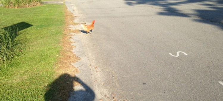 Chicken Crossed the Road