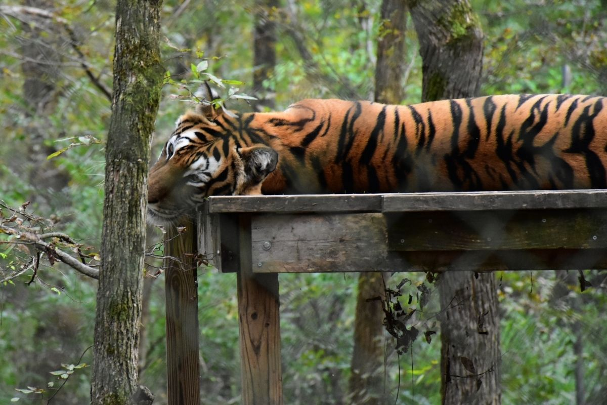 Tiger dream and symbol meanings