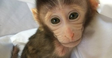 VOA Learning English - Transgenic Monkeys Produced in Japan