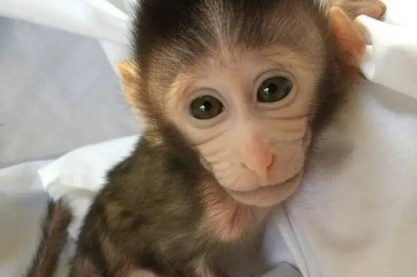 VOA Learning English - Transgenic Monkeys Produced in Japan