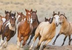 VOA Learning English - Dry Conditions Threaten Wild Horses in Western US