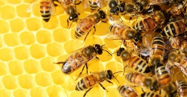 VOA Learn English - Bees are Carrying Pesticides into the World's Honey