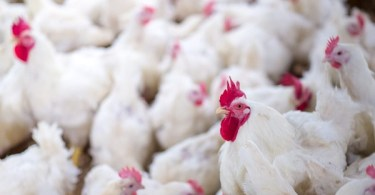 VOA Learning English - Major Chicken Producer to Stop Using Antibiotics