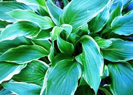 Green Hostas-L2H