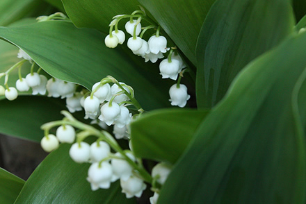 lily-of-the-valley2