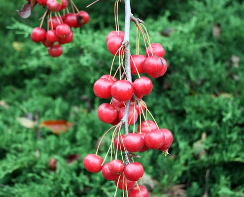 Wild apples high in nutrients, Malus sikkimensis