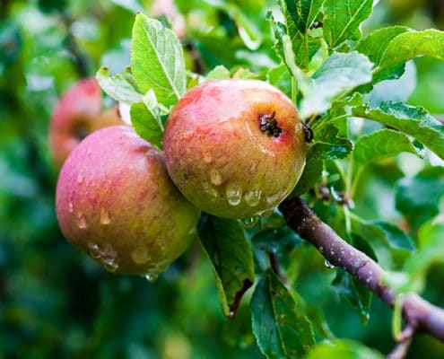 Modern apples are larger, but lack the high nutrients found in wild apples.