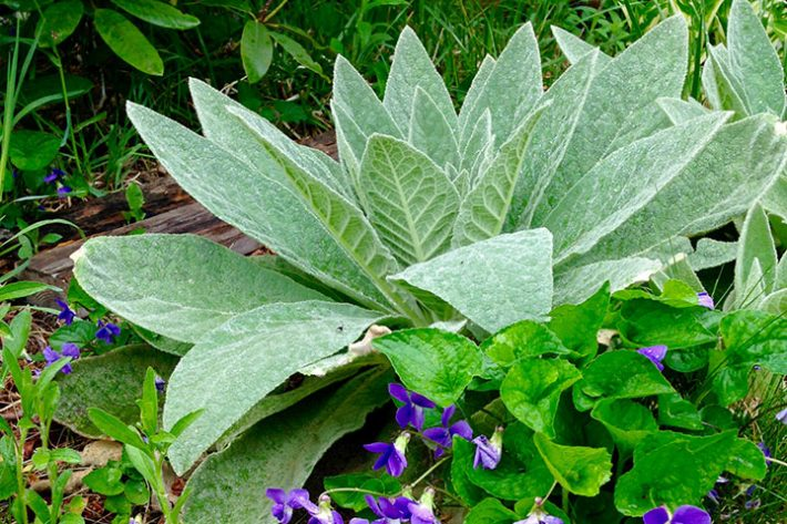 8 Herbs for Allergy Relief: Mullein