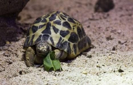 Turtle eating salad