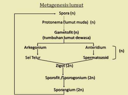 Skema metagenesis Lumut Homotalus dan Umum