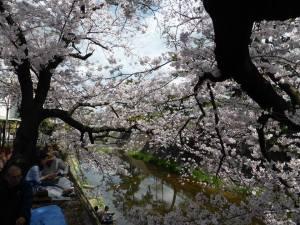 Sakura 2016 Shukugawa 3