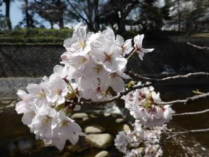 Sakura 2016 in Nishinomiya 5
