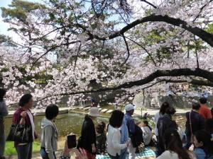 Sakura 2016 Shukugawa 1