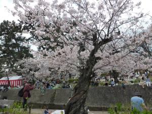 Sakura 2016 Shukugawa 5