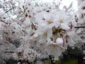 Sakura 2016 Osaka -Cherry blossom 8