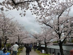 Sakura 2016 Osaka -Cherry blossom 4