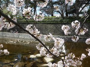Sakura 2016 in Nishinomiya 6