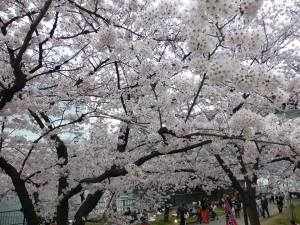 Sakura 2016 Osaka -Cherry blossom 9