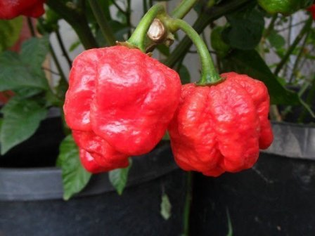 10 hottest chili in the world