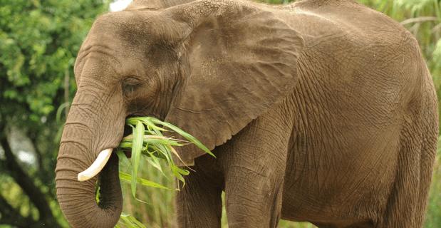 elephant-herbivore