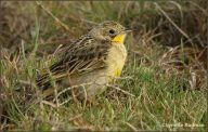 Yellow-breasted Pipit