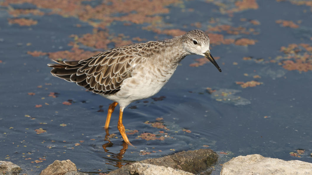Ruff at Marivale in October 2020, possibly a female (non-breeding)