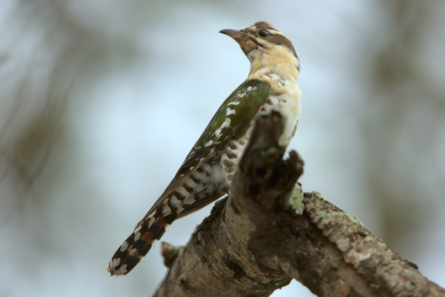 Female diederik cuckoo watches from the shadows, waiting for an opportunity to enter a host nest.