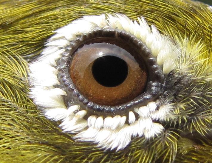 Japanese-White-eye-Eye