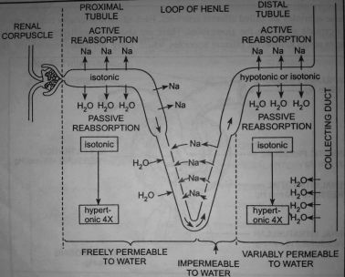 mechanism of urine formation
